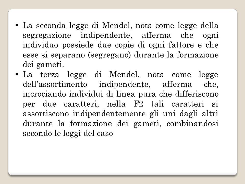 La seconda legge di Mendel, nota come legge della segregazione indipendente, afferma che ogni individuo possiede due copie di ogni fattore e che esse si separano (segregano) durante la formazione dei gameti.