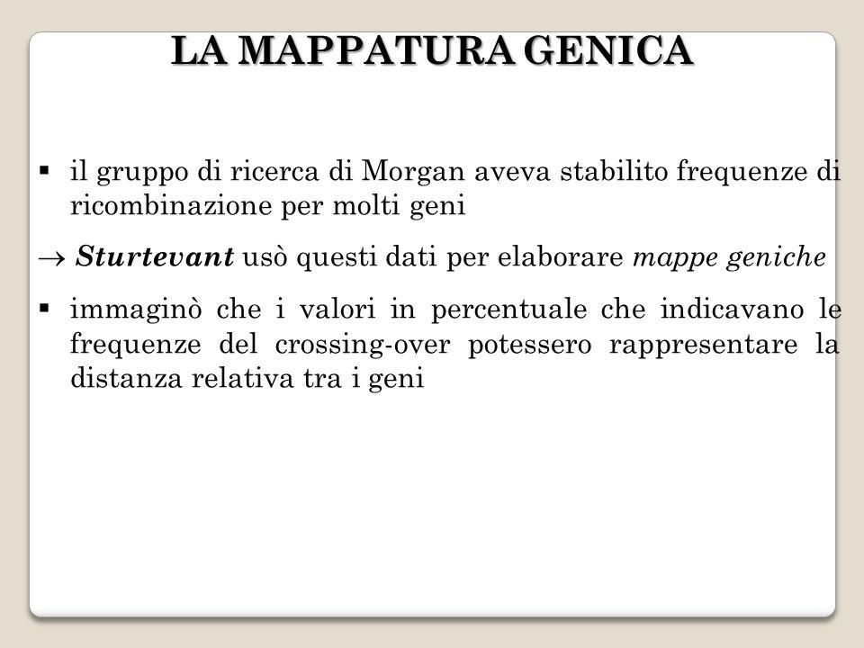LA MAPPATURA GENICA il gruppo di ricerca di Morgan aveva stabilito frequenze di ricombinazione per molti geni.