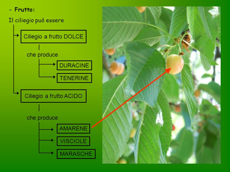 Ciliegio a frutto DOLCE