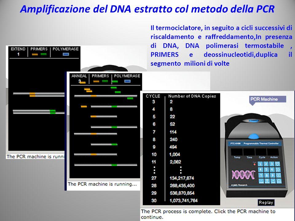 Amplificazione del DNA estratto col metodo della PCR