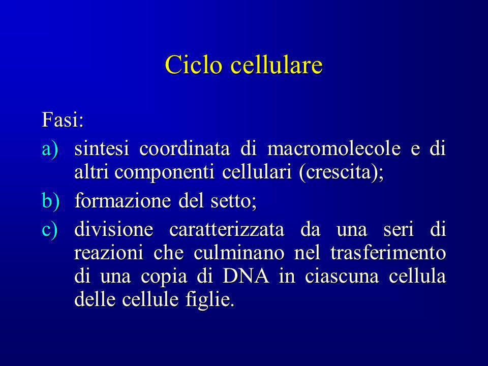 Ciclo cellulare Fasi: sintesi coordinata di macromolecole e di altri componenti cellulari (crescita);