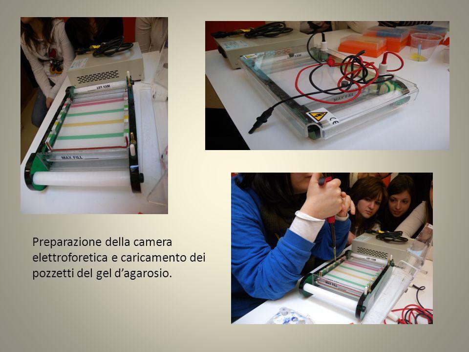 Preparazione della camera elettroforetica e caricamento dei pozzetti del gel d'agarosio.