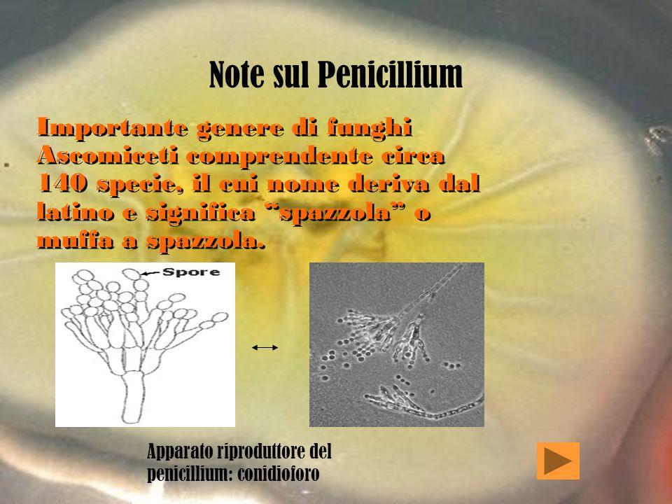 Note sul Penicillium