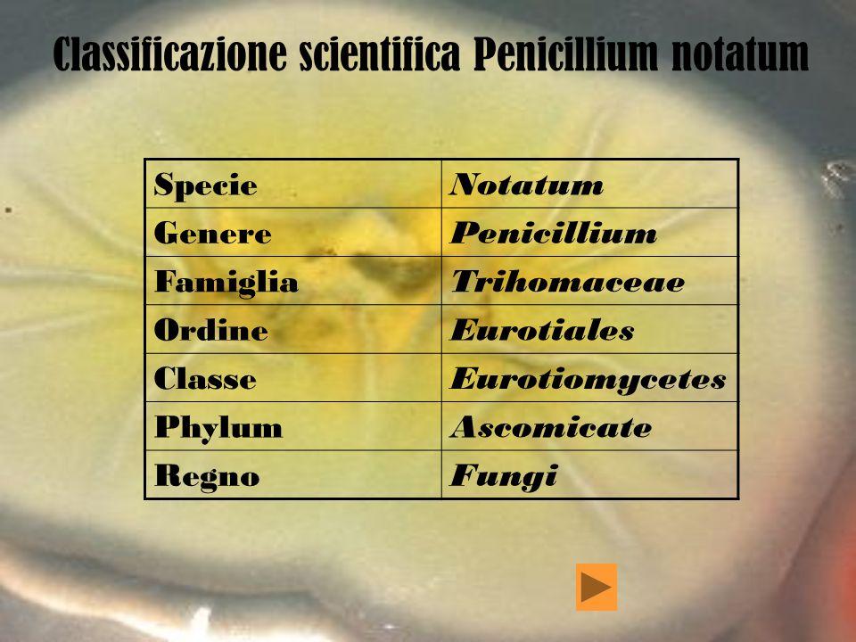 Classificazione scientifica Penicillium notatum