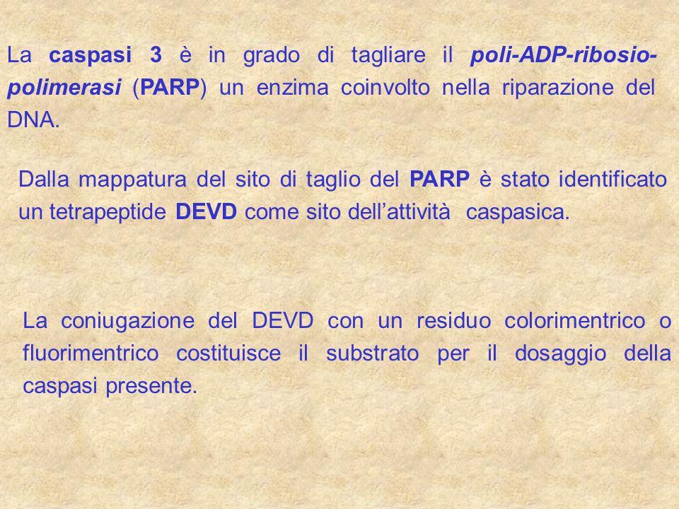 La caspasi 3 è in grado di tagliare il poli-ADP-ribosio-polimerasi (PARP) un enzima coinvolto nella riparazione del DNA.