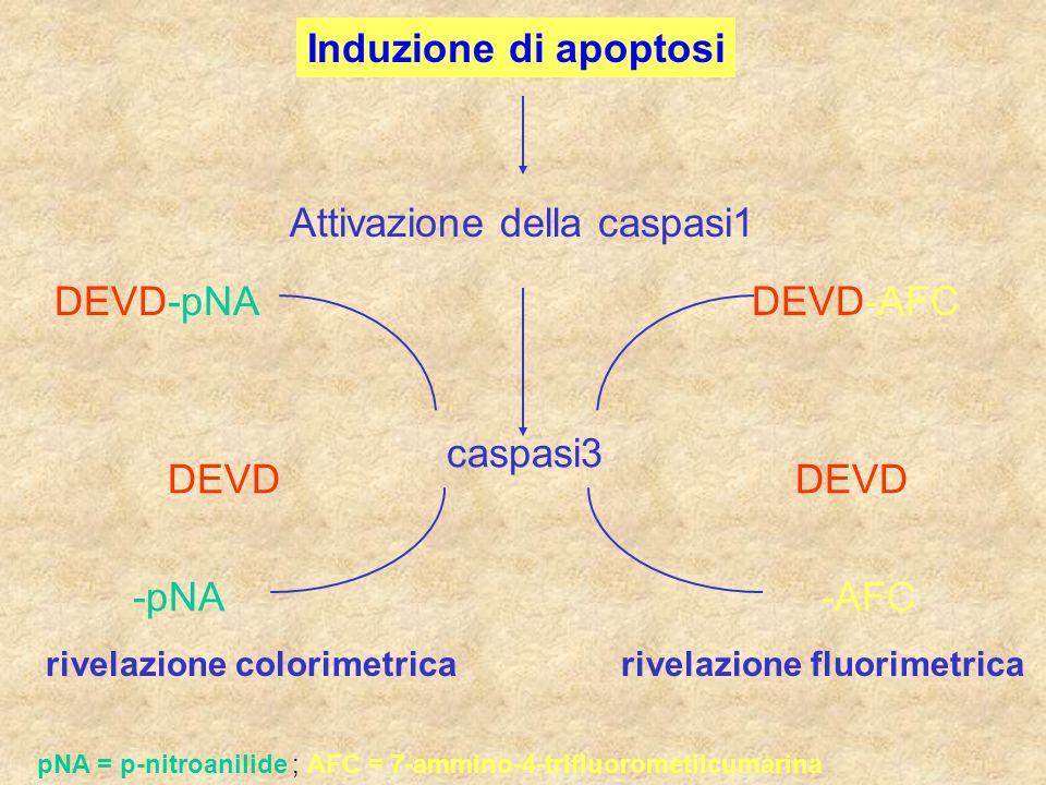 Attivazione della caspasi1