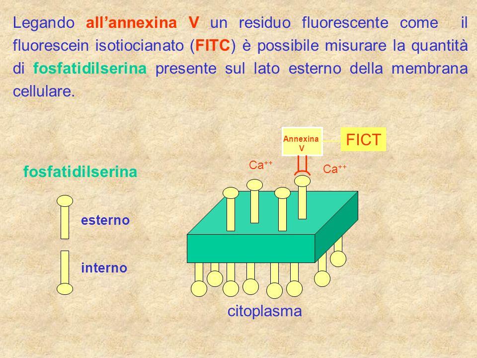 Legando all'annexina V un residuo fluorescente come il fluorescein isotiocianato (FITC) è possibile misurare la quantità di fosfatidilserina presente sul lato esterno della membrana cellulare.