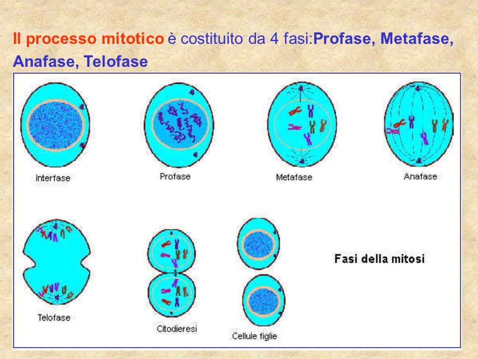 Il processo mitotico è costituito da 4 fasi:Profase, Metafase, Anafase, Telofase