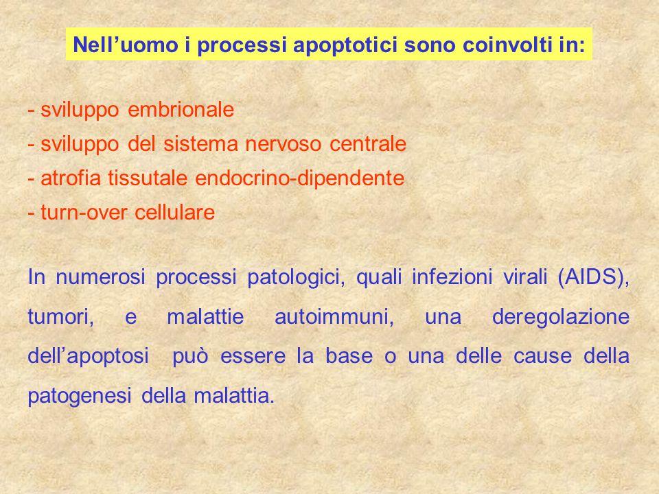 Nell'uomo i processi apoptotici sono coinvolti in: