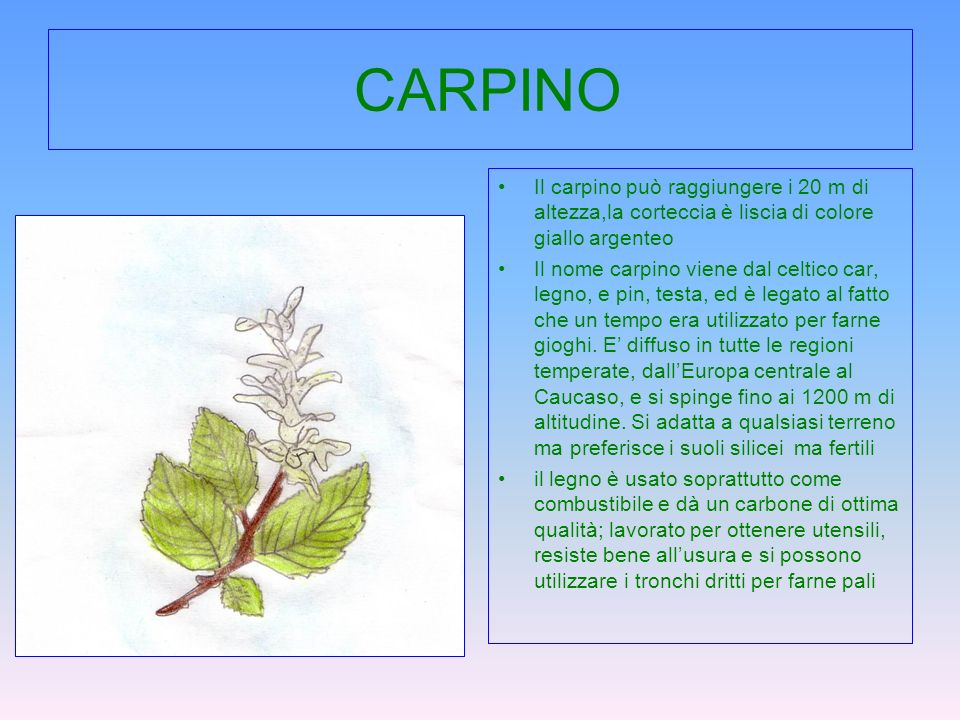 CARPINO Il carpino può raggiungere i 20 m di altezza,la corteccia è liscia di colore giallo argenteo.
