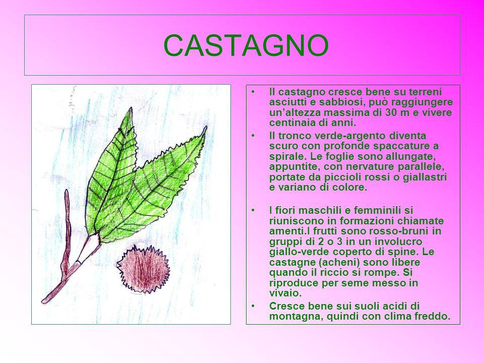 CASTAGNO Il castagno cresce bene su terreni asciutti e sabbiosi, può raggiungere un'altezza massima di 30 m e vivere centinaia di anni.