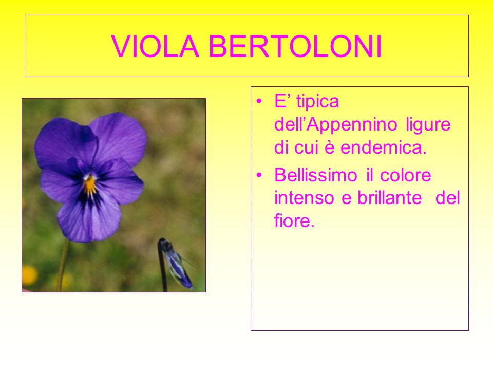 VIOLA BERTOLONI E' tipica dell'Appennino ligure di cui è endemica.