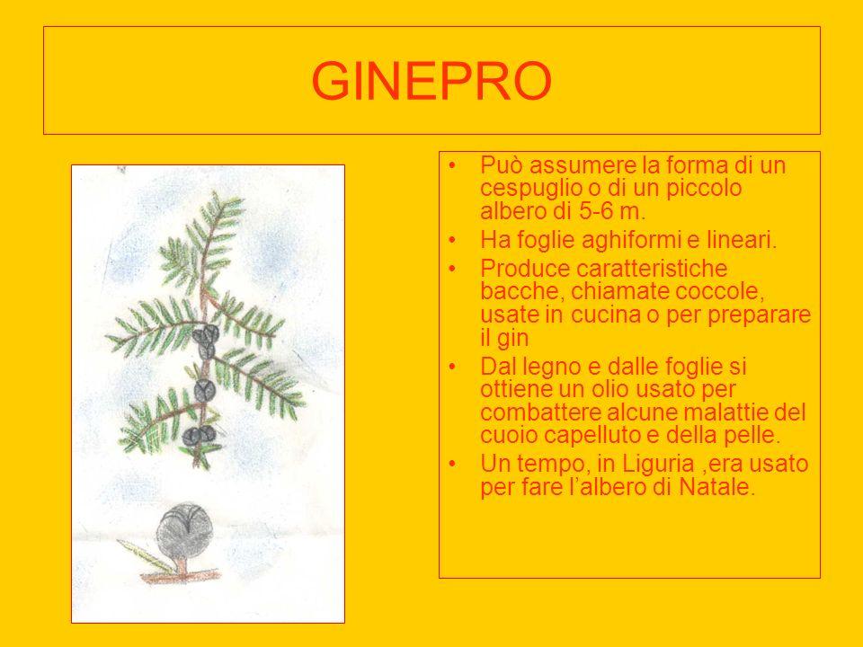 GINEPRO Può assumere la forma di un cespuglio o di un piccolo albero di 5-6 m. Ha foglie aghiformi e lineari.
