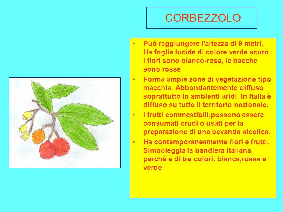CORBEZZOLO Può raggiungere l altezza di 9 metri. Ha foglie lucide di colore verde scuro. I fiori sono bianco-rosa, le bacche sono rosse.