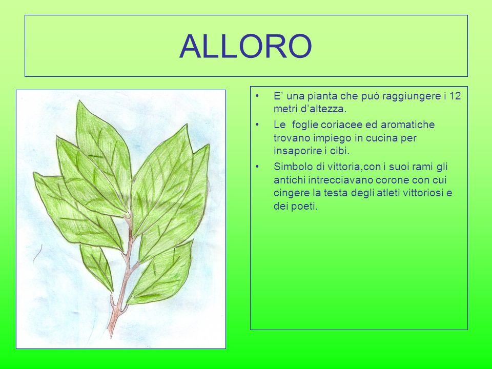 ALLORO E' una pianta che può raggiungere i 12 metri d'altezza.