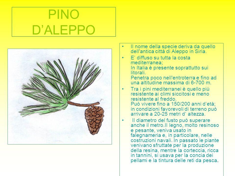 PINO D'ALEPPO Il nome della specie deriva da quello dell antica città di Aleppo in Siria.