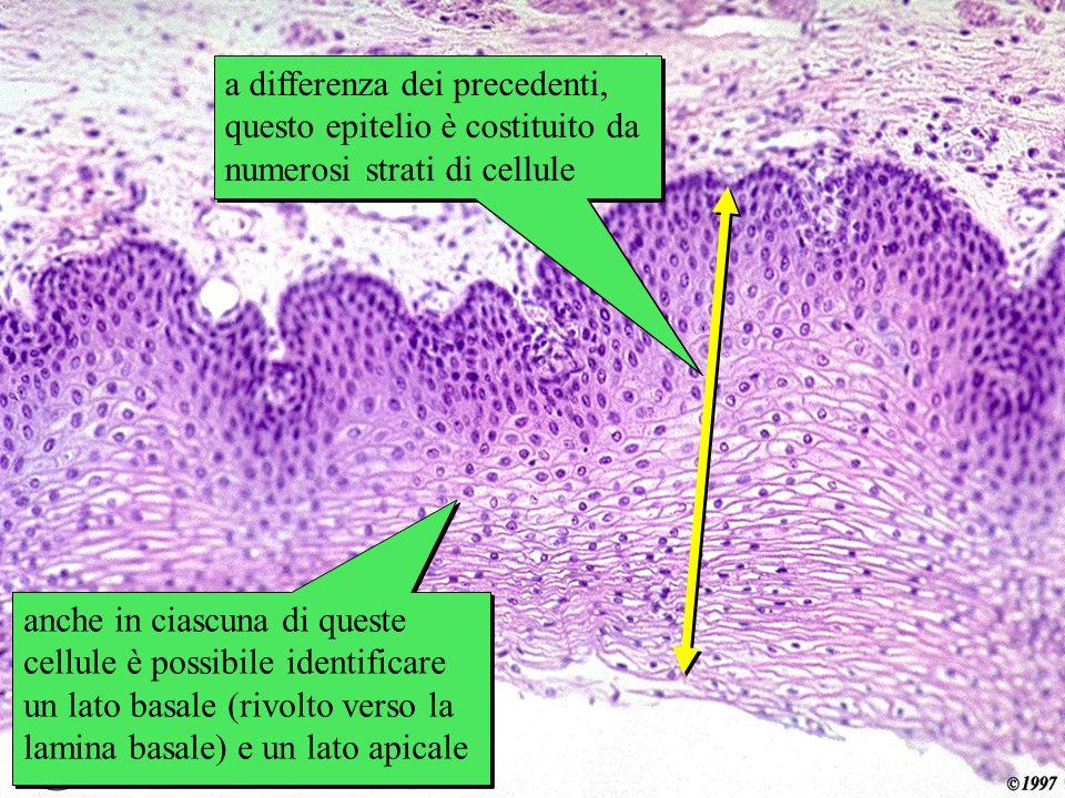 esofago a differenza dei precedenti, questo epitelio è costituito da numerosi strati di cellule.