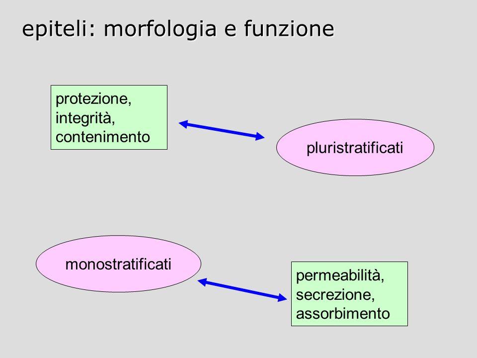 epiteli: morfologia e funzione
