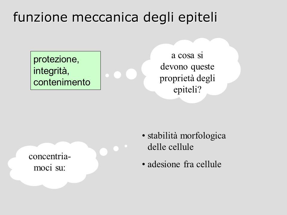 funzione meccanica degli epiteli