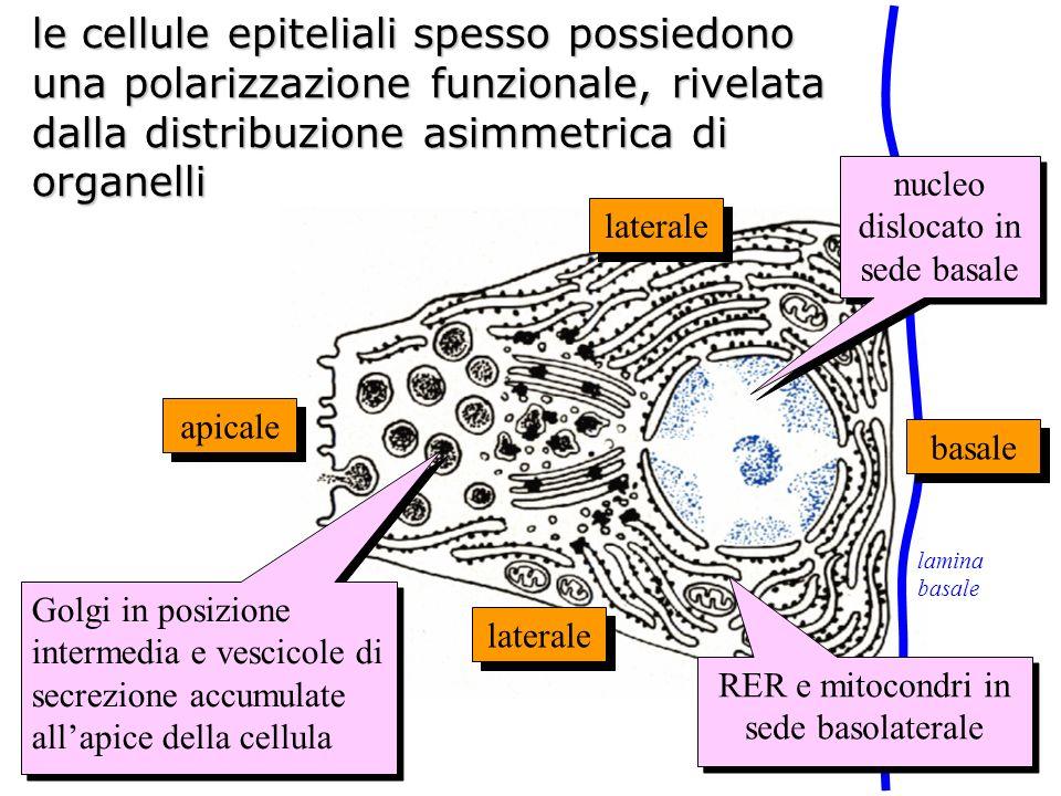le cellule epiteliali spesso possiedono una polarizzazione funzionale, rivelata dalla distribuzione asimmetrica di organelli