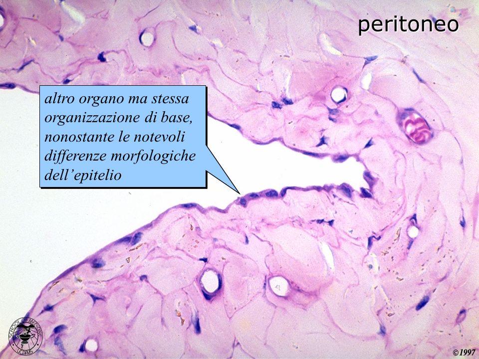 peritoneo altro organo ma stessa organizzazione di base, nonostante le notevoli differenze morfologiche dell'epitelio.