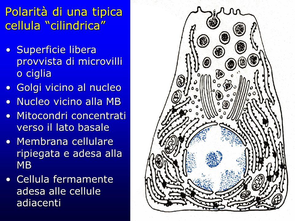 Polarità di una tipica cellula cilindrica