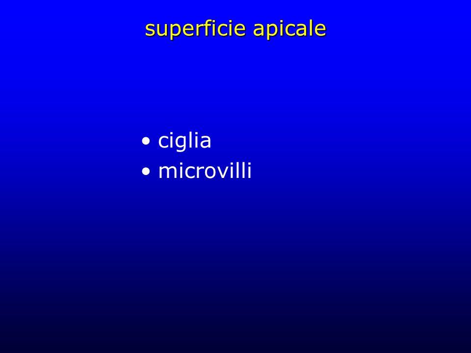 superficie apicale ciglia microvilli