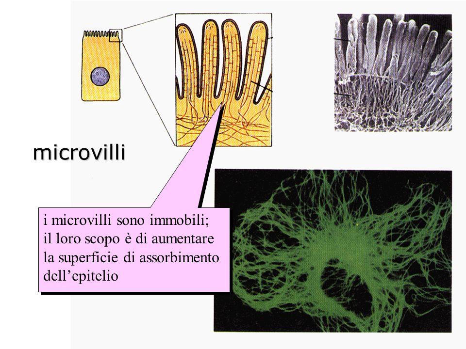 microvilli i microvilli sono immobili;