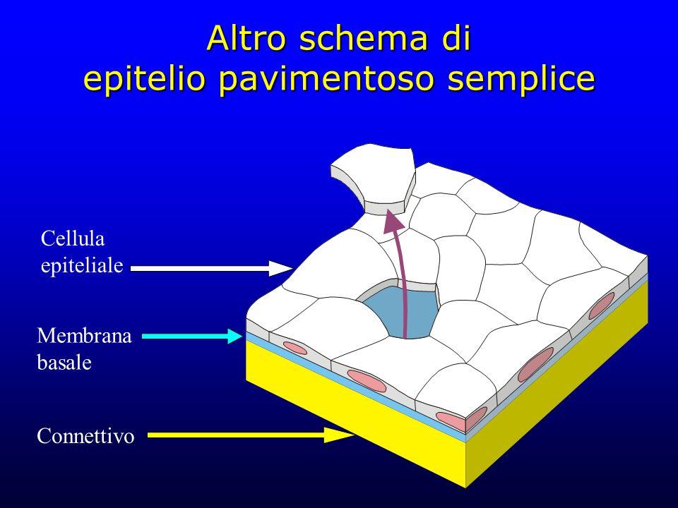 Altro schema di epitelio pavimentoso semplice