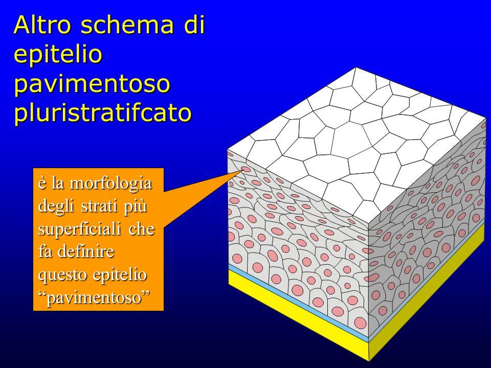 Altro schema di epitelio pavimentoso pluristratifcato