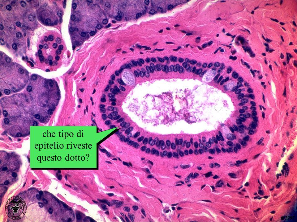 che tipo di epitelio riveste questo dotto