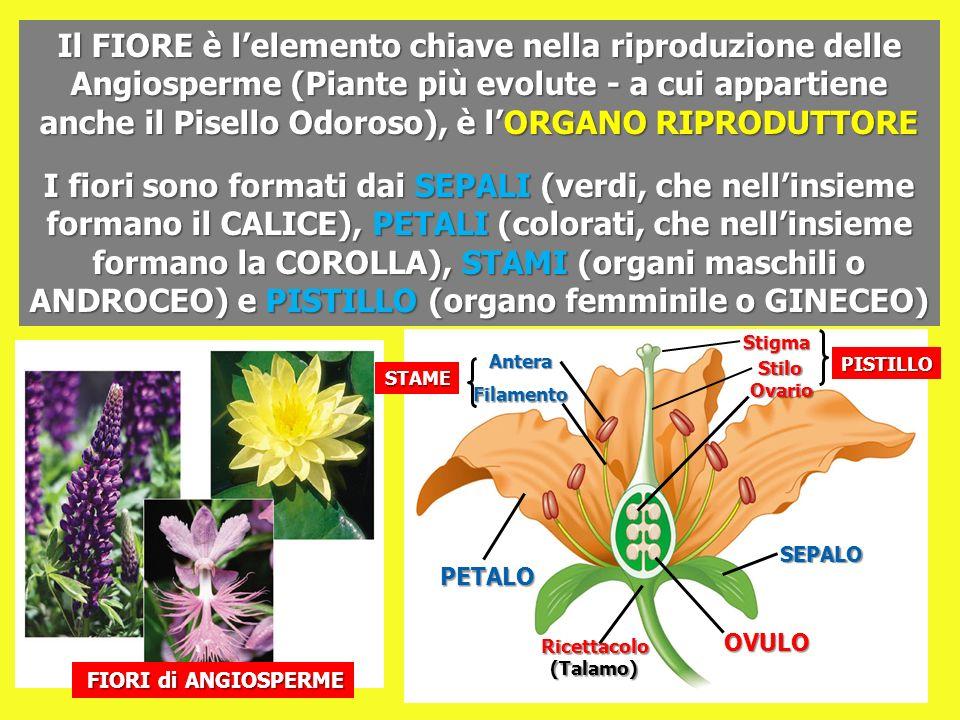 Il FIORE è l'elemento chiave nella riproduzione delle Angiosperme (Piante più evolute - a cui appartiene anche il Pisello Odoroso), è l'ORGANO RIPRODUTTORE