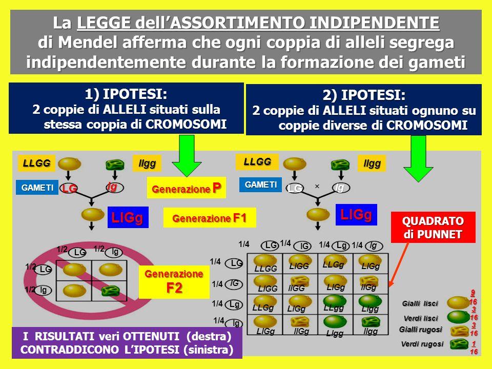 La LEGGE dell'ASSORTIMENTO INDIPENDENTE di Mendel afferma che ogni coppia di alleli segrega indipendentemente durante la formazione dei gameti