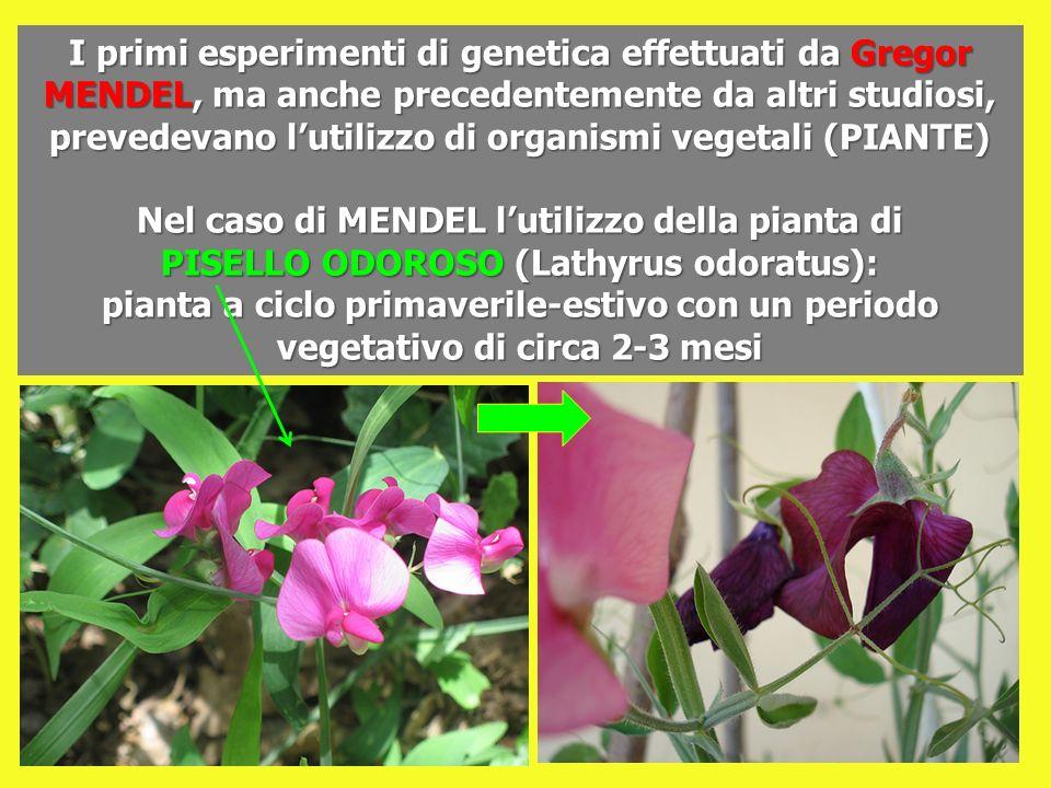 I primi esperimenti di genetica effettuati da Gregor MENDEL, ma anche precedentemente da altri studiosi, prevedevano l'utilizzo di organismi vegetali (PIANTE)