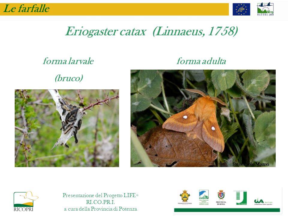 Eriogaster catax (Linnaeus, 1758)