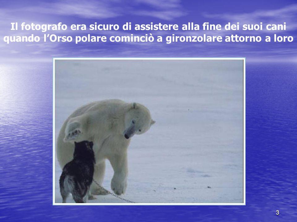 Il fotografo era sicuro di assistere alla fine dei suoi cani quando l'Orso polare cominciò a gironzolare attorno a loro
