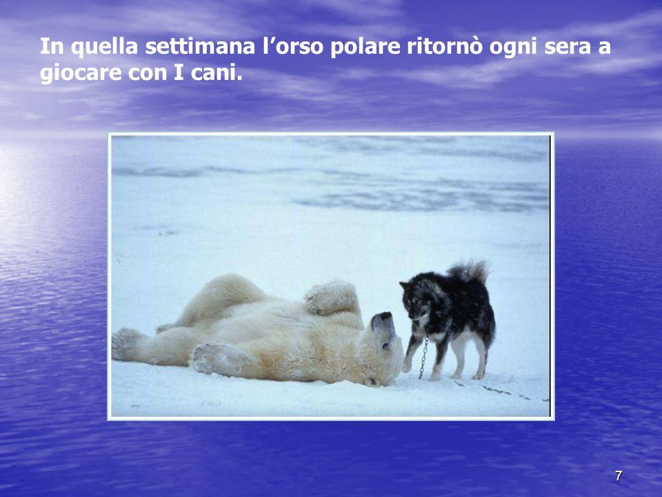 In quella settimana l'orso polare ritornò ogni sera a giocare con I cani.