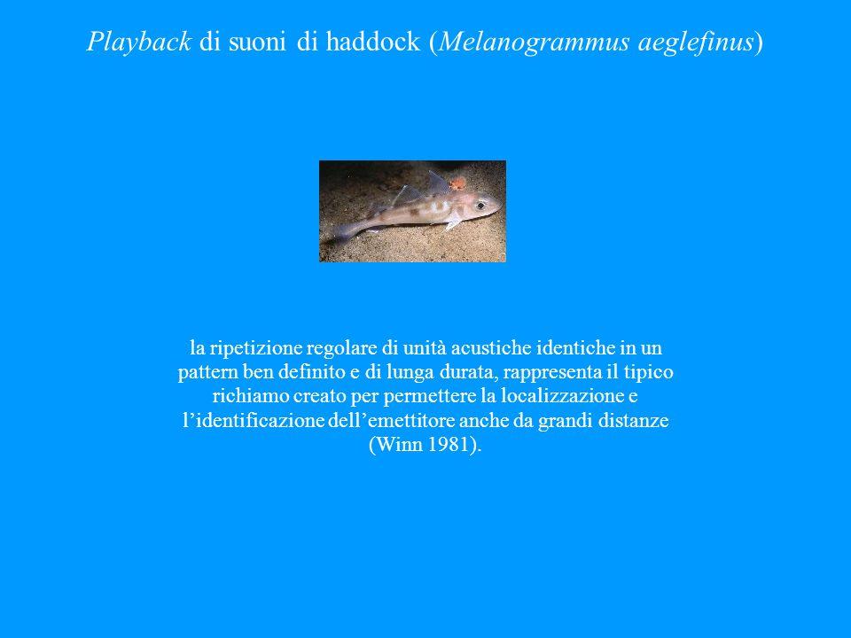 Playback di suoni di haddock (Melanogrammus aeglefinus)