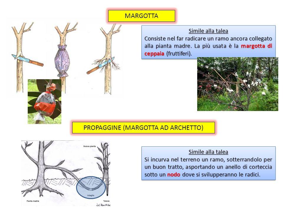 PROPAGGINE (MARGOTTA AD ARCHETTO)