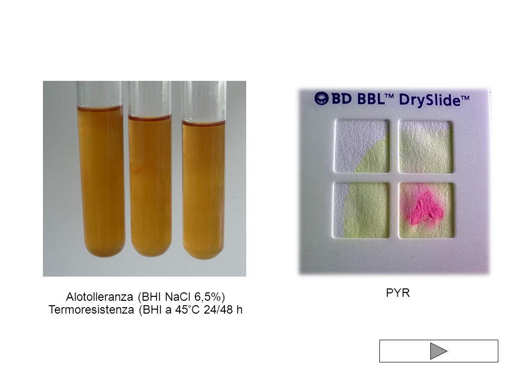 Alotolleranza (BHI NaCl 6,5%) Termoresistenza (BHI a 45°C 24/48 h