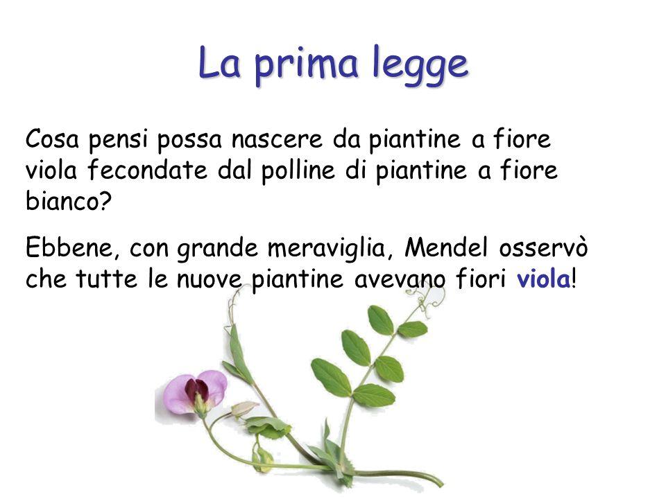 La prima legge Cosa pensi possa nascere da piantine a fiore viola fecondate dal polline di piantine a fiore bianco
