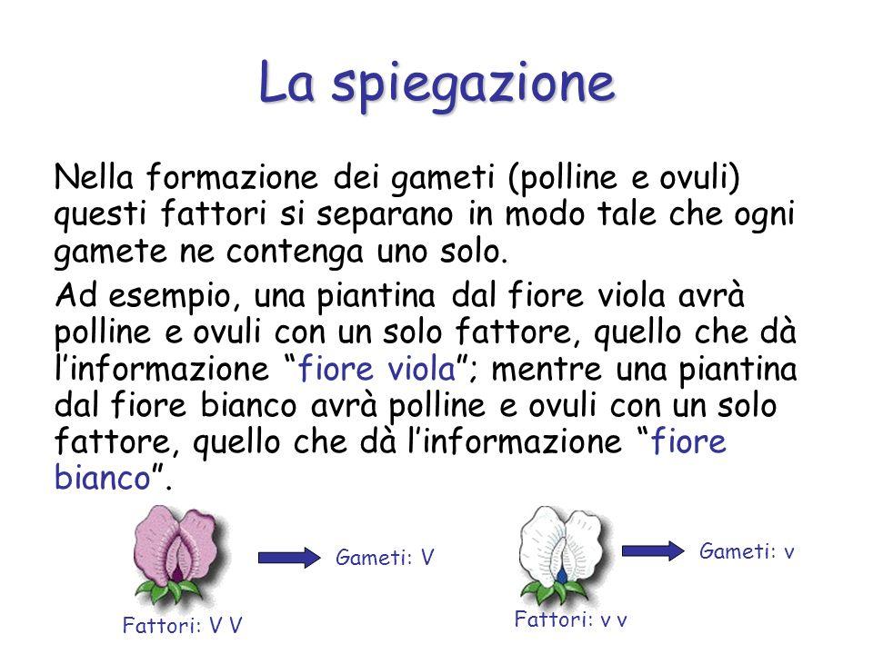 La spiegazione Nella formazione dei gameti (polline e ovuli) questi fattori si separano in modo tale che ogni gamete ne contenga uno solo.