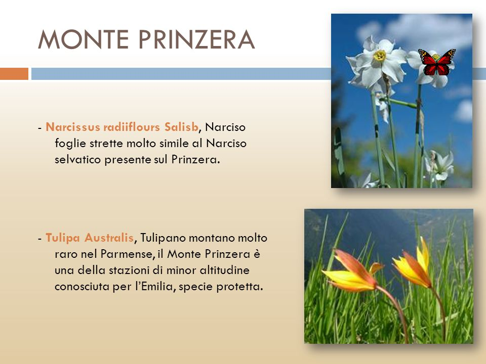 MONTE PRINZERA - Narcissus radiiflours Salisb, Narciso foglie strette molto simile al Narciso selvatico presente sul Prinzera.