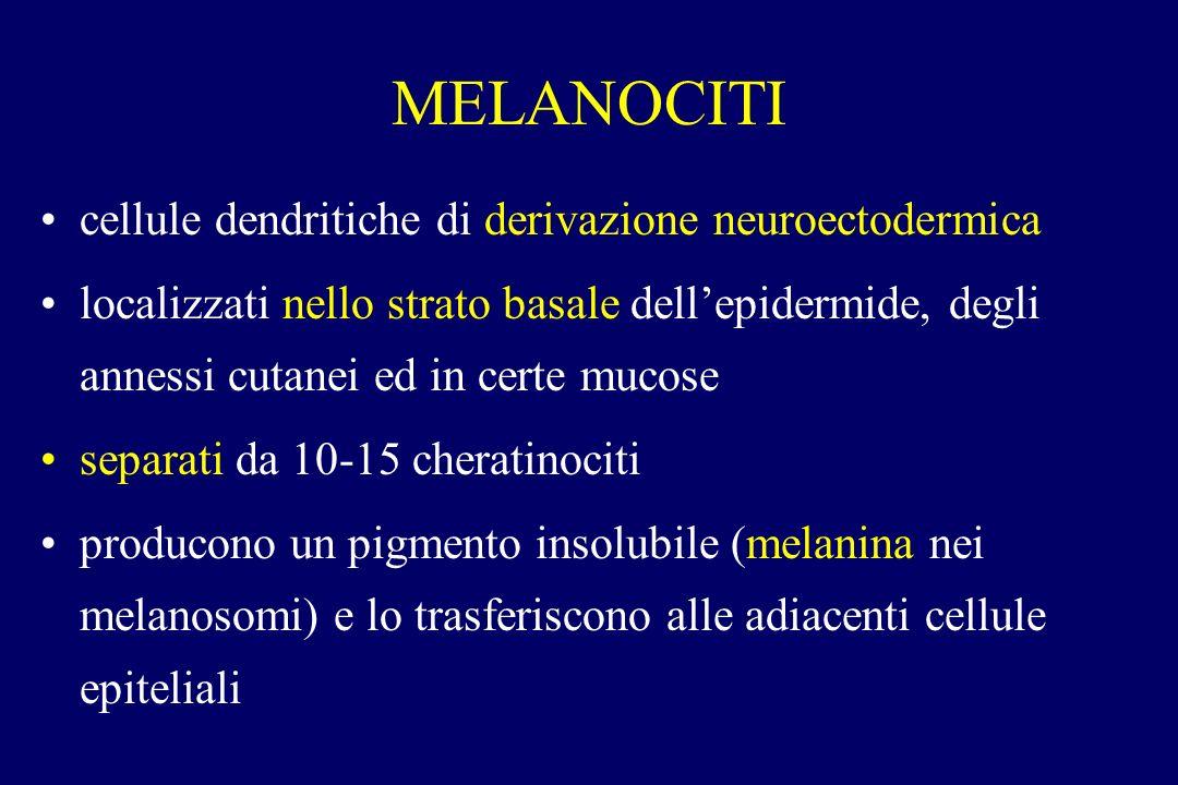 MELANOCITI cellule dendritiche di derivazione neuroectodermica