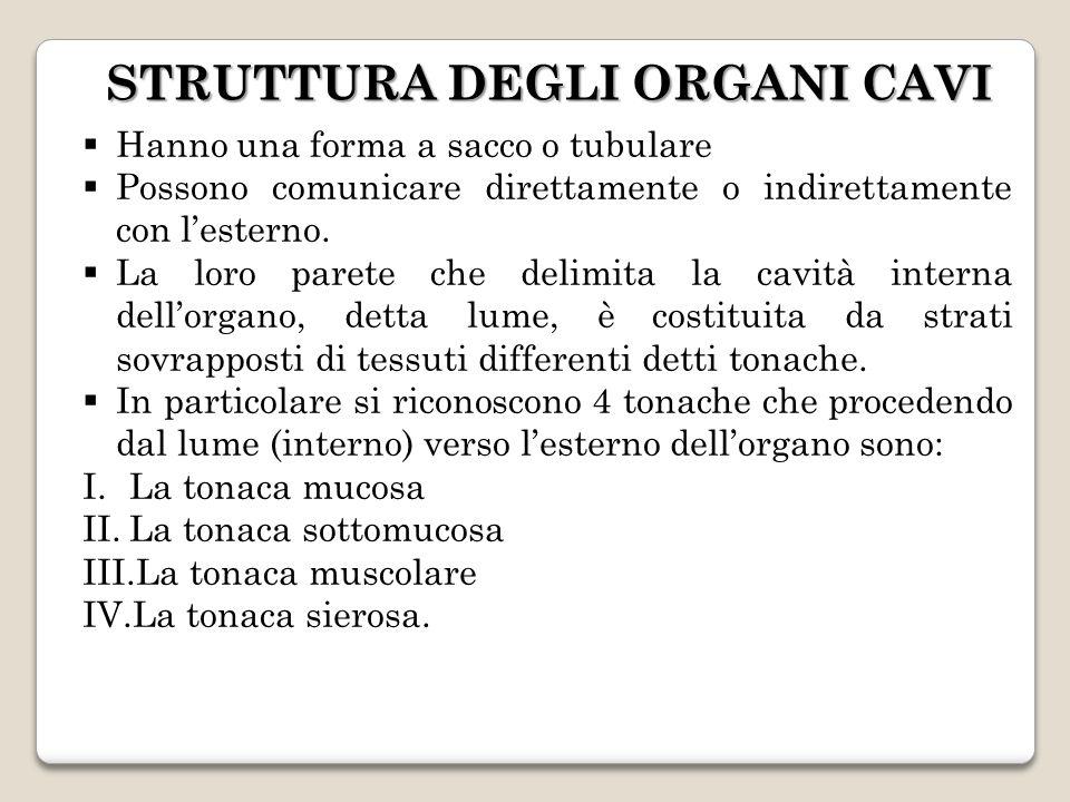 STRUTTURA DEGLI ORGANI CAVI