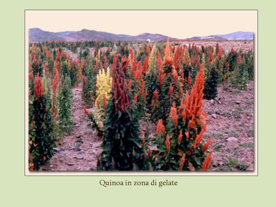Quinoa in zona di gelate