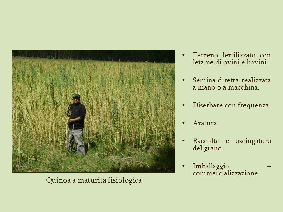 Quinoa a maturità fisiologica
