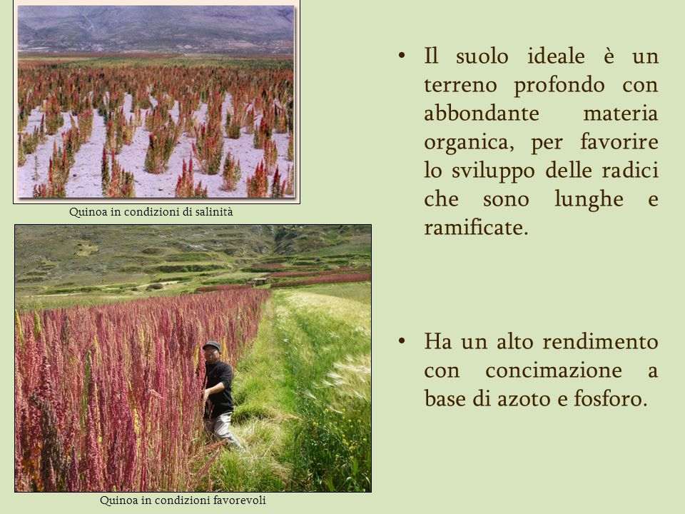 Quinoa in condizioni di salinità