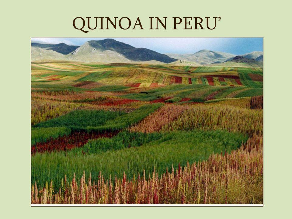 QUINOA IN PERU'