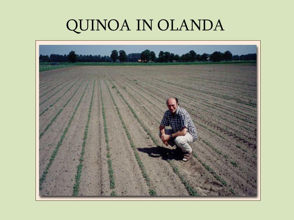 QUINOA IN OLANDA